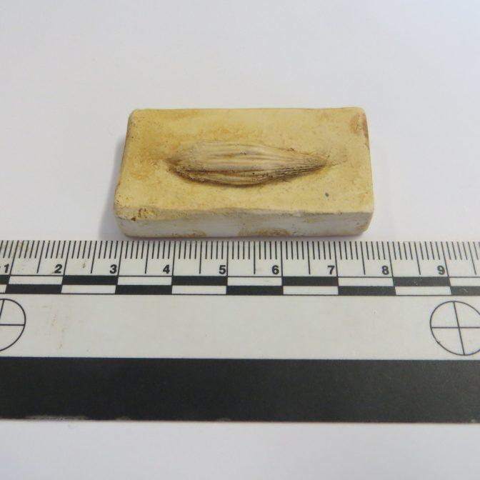 Icthyosaur tooth