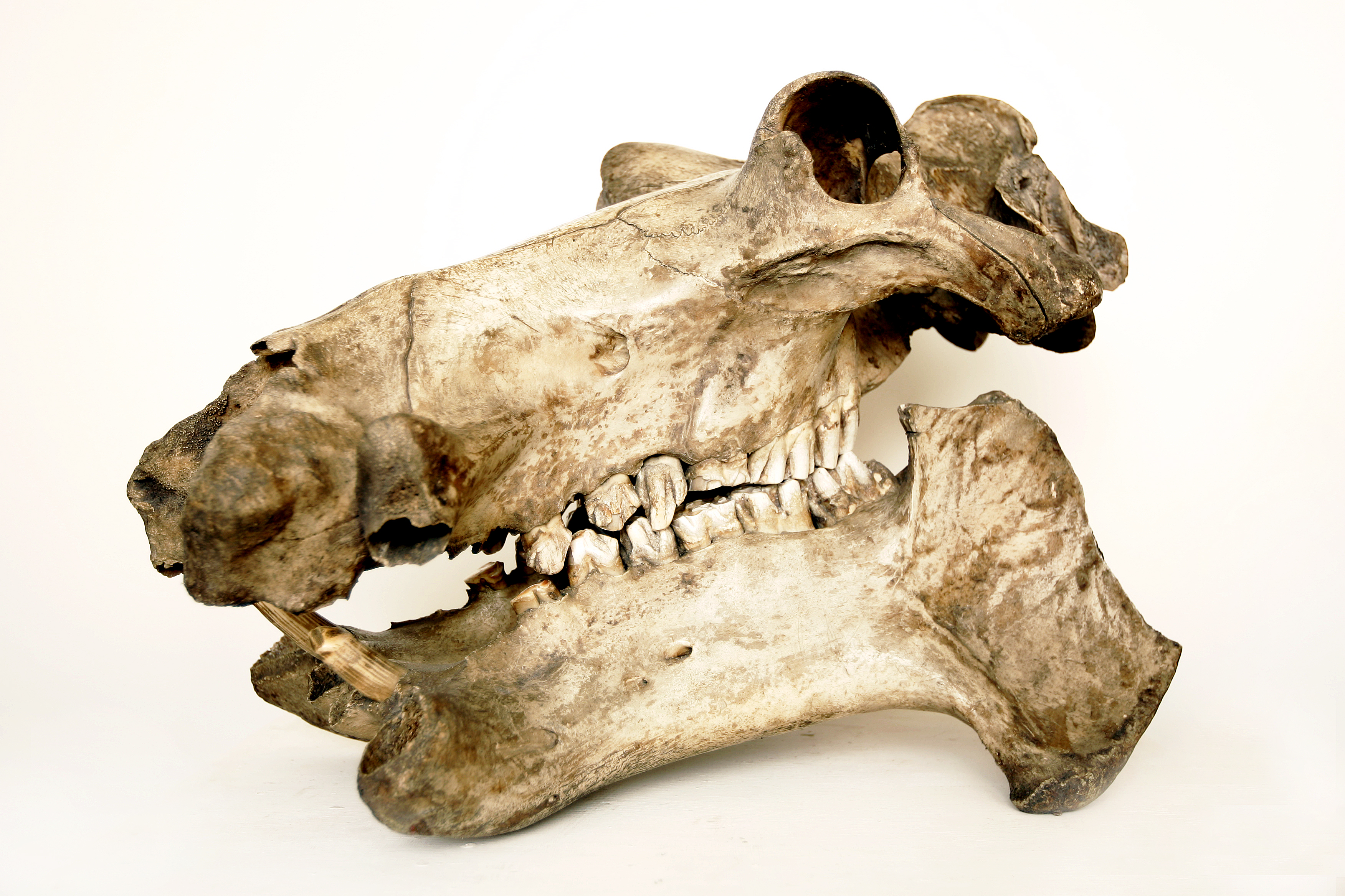 A hippo skull with visible teeth